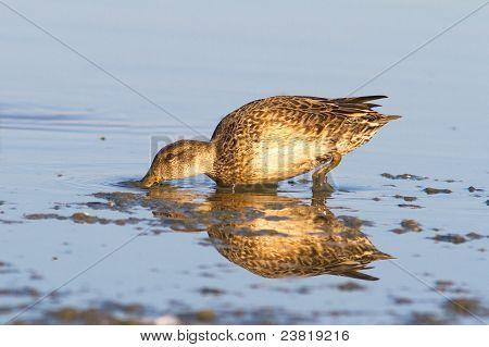 fêmea teal Eurásia no Lago (Anas crecca)