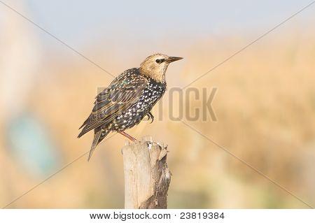 starling portrait / Sturnus vulgaris