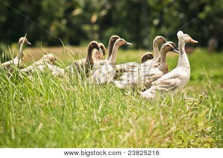 group of ducks playing in rice paddy field