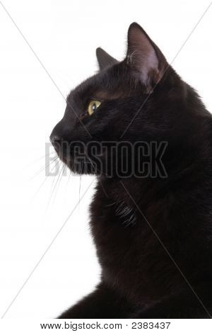 Iblack Cat Portrait, Isolated
