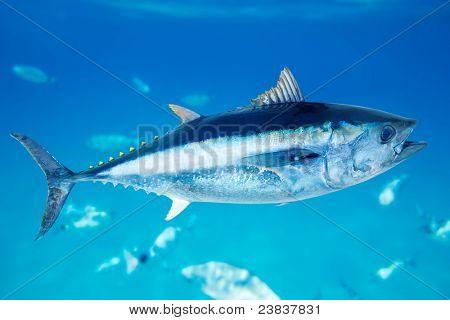 Atum-rabilho Thunnus thynnus peixes de água salgada no Mediterrâneo [Foto ilustração]