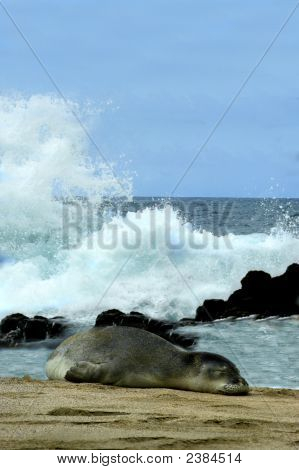 Beached Monk Seal