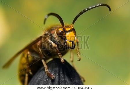 Hornet macro