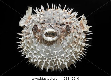 Long-spine porcupinefish - Diodon holocanthus.
