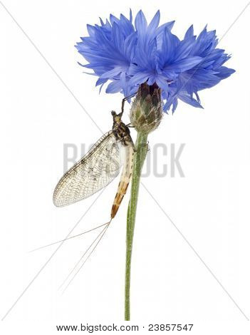 Mayfly, Ephemera danica, on flower in front of white background