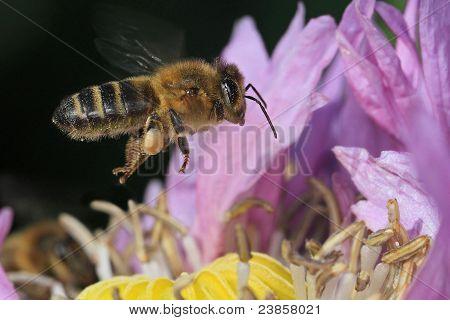 Bee flying on a violet flower