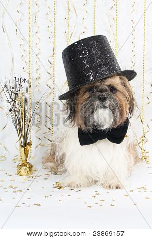 A Handsome Shih Tzu Celebrates New Year's