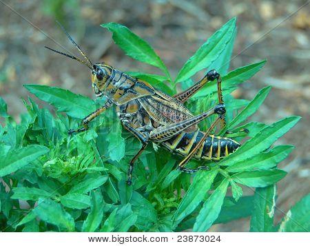 Large lubber grasshopper