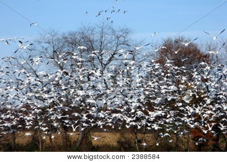 Snow Goose Panic Take Off