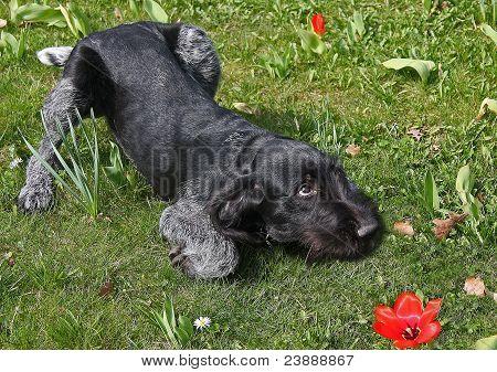 young gundog