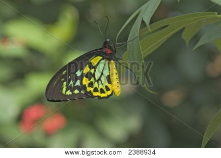 Cairus Birdwing Butterfly