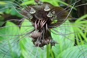 image of rare flowers  - rare plant Bat wing flower in bloom - JPG