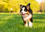 Happy Aussie dog with stick runs on meadow with green grass in summer or spring. Beautiful Australia poster