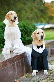 two golden retriever dogs  wedding clothing sitting outdoors