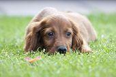 A Little Pet Of Irish Setter On The Grass poster