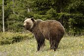 picture of grizzly bear  - Grizzly bear shot in Banff National Park Alberta - JPG