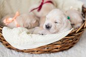 Portrait Of Two Weeks Old Golden Retriever Puppy In The Basket. Golden Retriever Baby Boy With Green poster