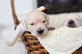 Portrait Of Two Weeks Old Cute Golden Retriever Puppy In The Basket. Sweet Golden Retriever Baby Boy poster