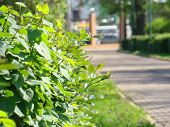 Green Bush On The Background Of The Paving Path In The Background. Green Bush With A Blurry Backgrou poster