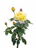 Yellow Rose With Unopened Buds On A White Background
