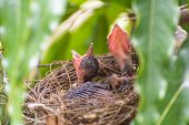 Bird (streak-eared Bulbul, Pycnonotus Blanfordi) Brown Color Perched In Bird Nest With Baby Bird On  poster