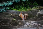 Постер, плакат: Closeup Of Funny Grey And Red Squirrel In Summer On Stone Floor After Rain Cute Squirrel Feeding s
