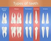 Different Type Of Tooth. 3d Realistic Poster. Wisdom Molar Premolar Canine And Incisor Teeth Set For poster