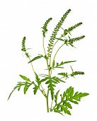 foto of ragweed  - Ragweed plant in allergy season isolated on white background common allergen - JPG