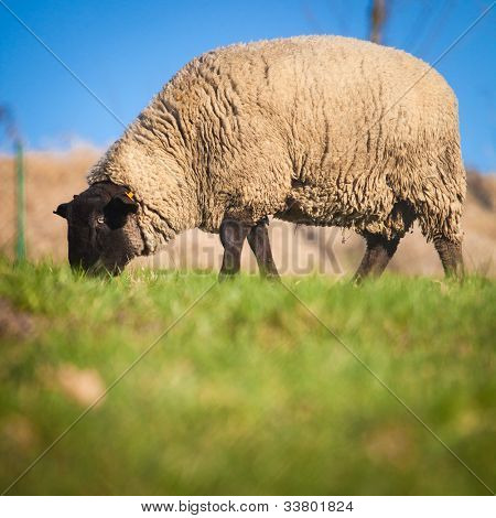 Suffolk black-faced sheep (Ovis aries) grazing on a meadow