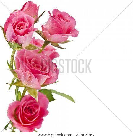 Fresh pink roses border isolated on white background