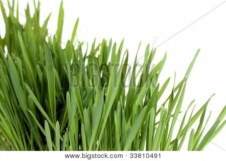 beautiful green grass isolted on white