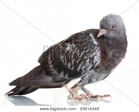 One grey messenger-pigeon isolated on white