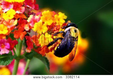 Bumblebee In Flowers