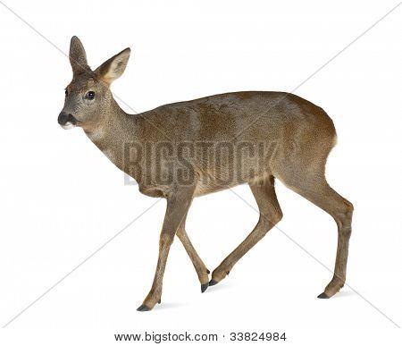 European Roe Deer, Capreolus capreolus, 3 years old, walking against white background