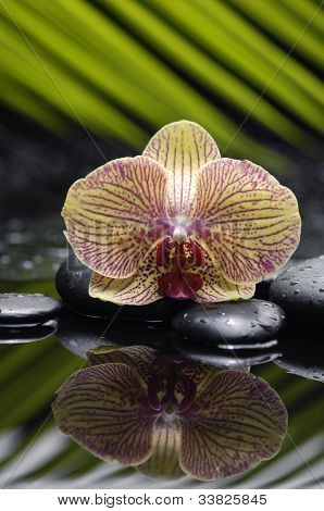 Single gorgeous orchid with palm leaf and zen stone reflection