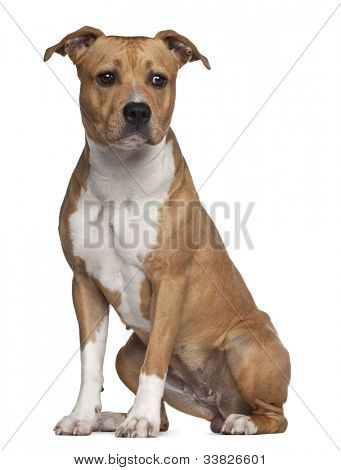 American Staffordshire Terrier, 8 months old, sitting against white background