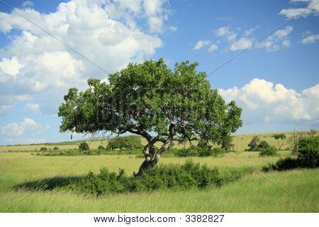 Kigelia Pinnata Tree