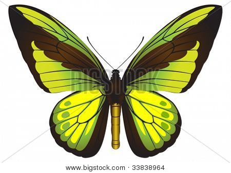 Ornithoptera goliath (Birdwing butterfly) vector