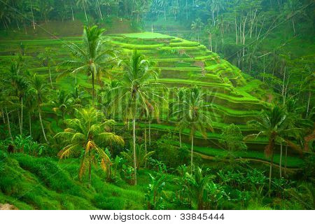 Terrace rice fields on Bali, Indonesia.