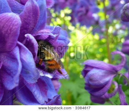 Bumblebee In Delphinium