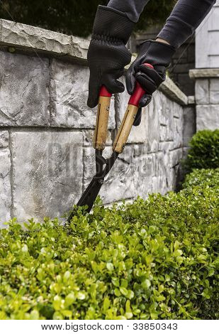 Cutting Hedges With Manual Shears