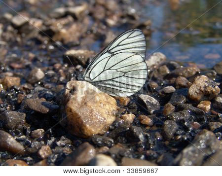 black veined white butterfly resting on wet stone