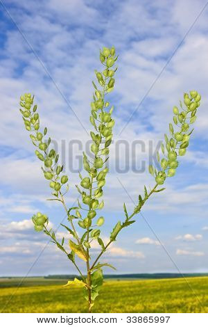 Field Pennycress Plant
