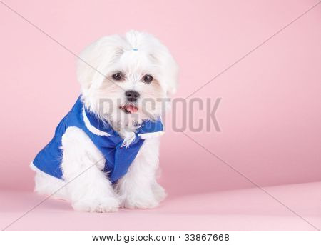 Cute and fluffy young Maltese puppy, sweet pony tail on head, wearing blue dog coat sitting on pink background.