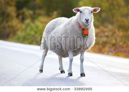 Sheep walking on road in Norway