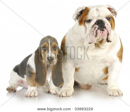 basset hound and bulldog - basset hound puppy and english bulldog sitting beside each other on white background
