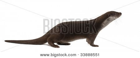 European Otter, Lutra lutra, 6 years old, standing against white background
