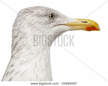 European Herring Gull, Larus argentatus, 4 years old, against white background
