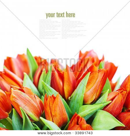 Lots of fresh red tulips on white background  (with easy removable text)
