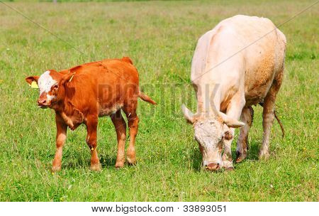 Cute calf and cow mother in rural landscape.